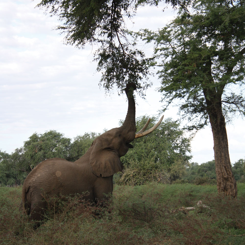 Elephant eating leaves on a tree