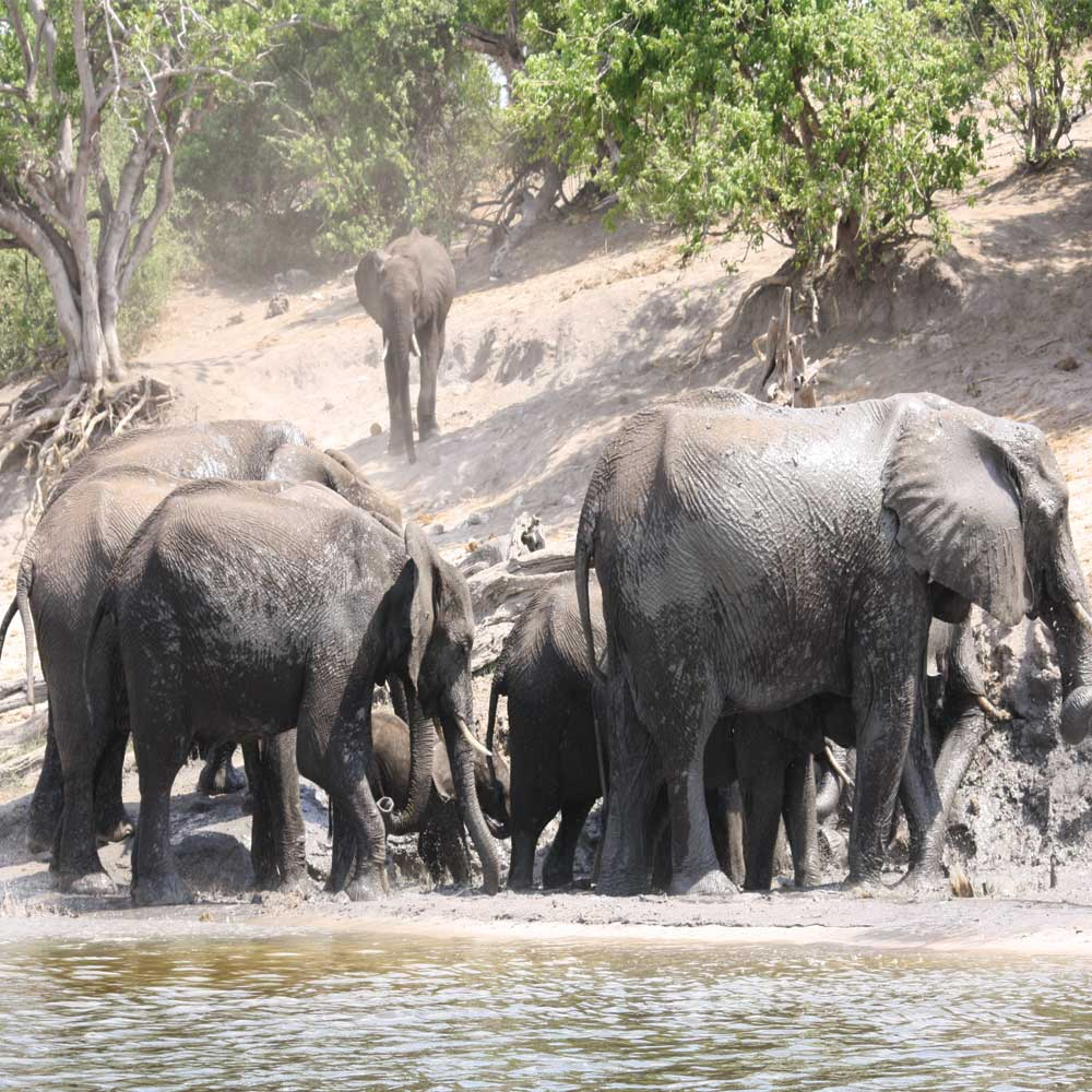 Elephants on river bank drinking water