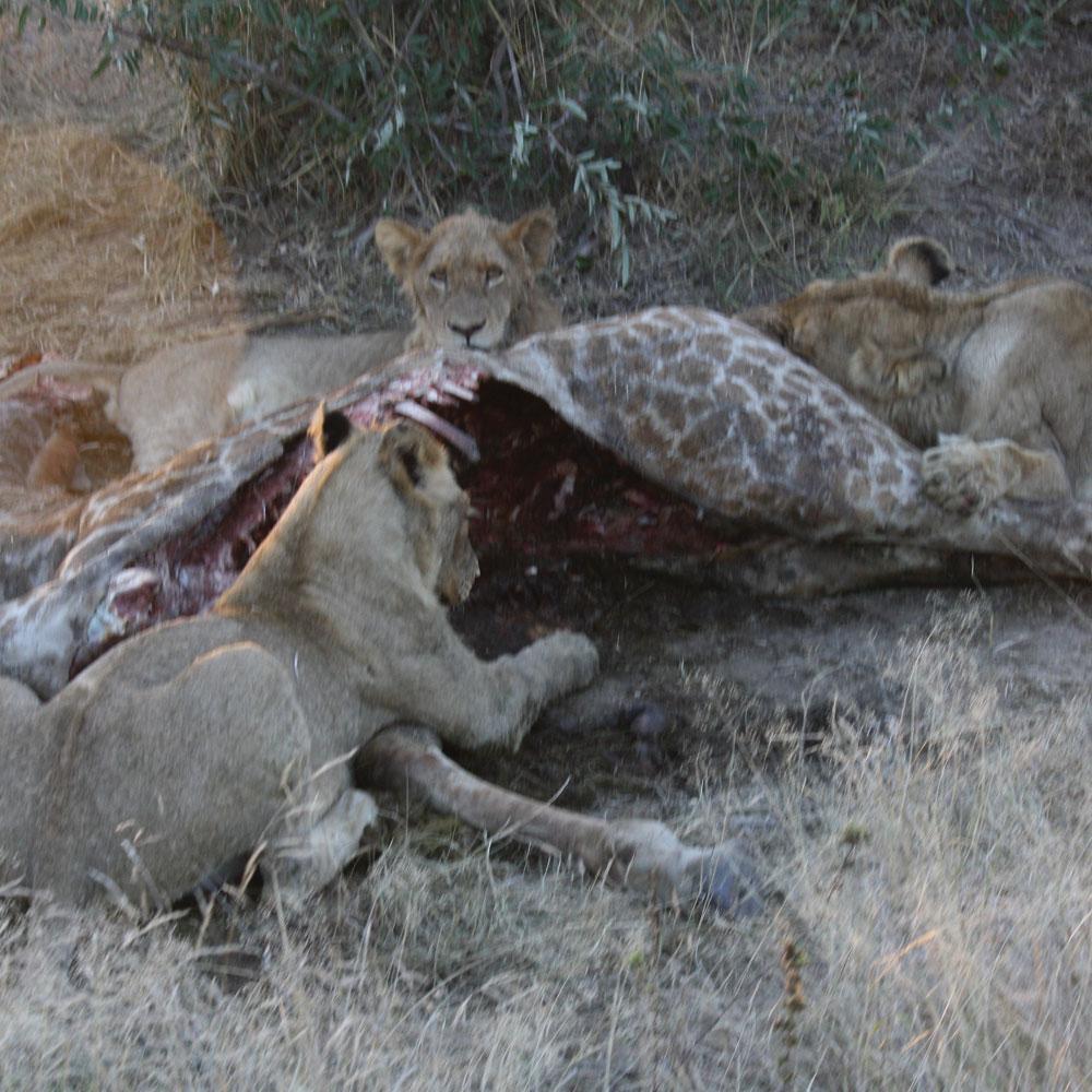lion eating giraffe