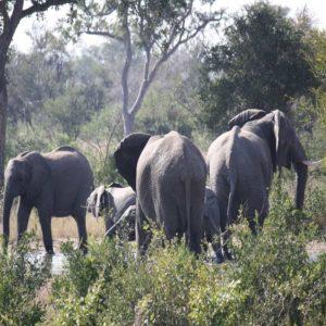 Elephants in river